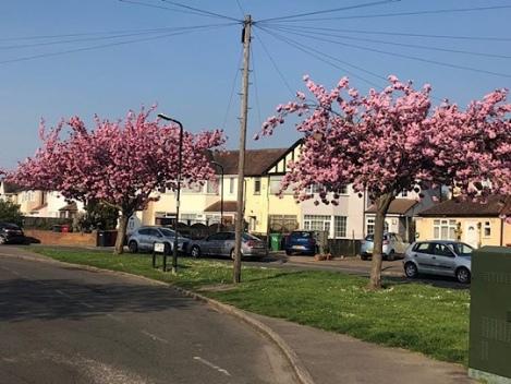 Cherry Blossom Tree Slough, Berkshire