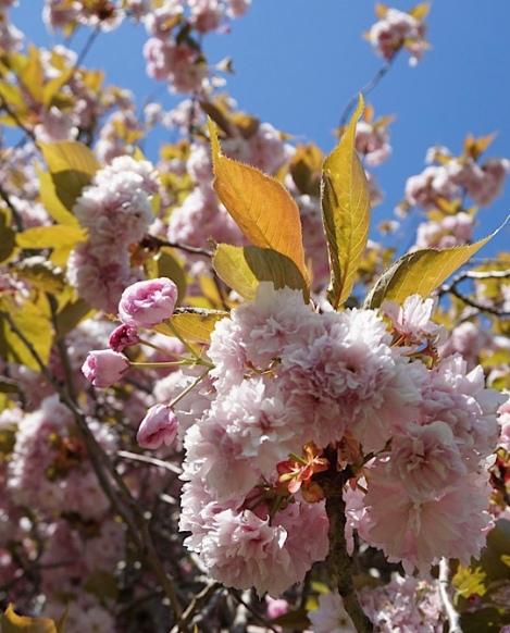 Pink Blossom, Lascelles Park, Slough, Berkshire