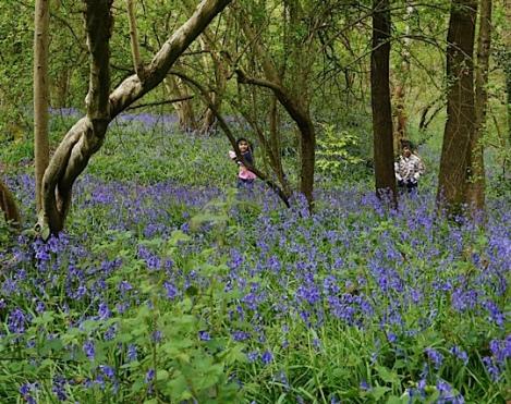 Cocksherd Bluebell Woods, Slough, Berkshire